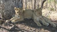 Junge Löwen im Krüger Nationalpark