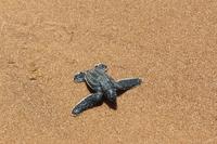 Galibi Schildkröte