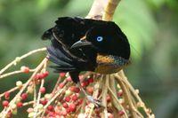 PNG_Walindi Bird 2_PHA_FOC