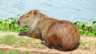 Capybara im Pantanal