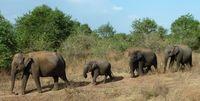 Elefanten Udawalawe NP