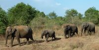 LK_Udawalawe NP_Elefanten_REX_FOC