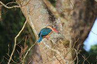 NE_Chitwan NP_Eisvogel_GJ_FOC