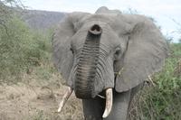 Elefant Serengeti NP_Djoser Reisen